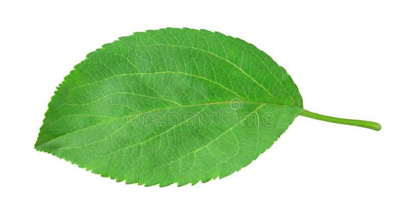 Лист Яблока изолированные на белизне стоковое изображение rf