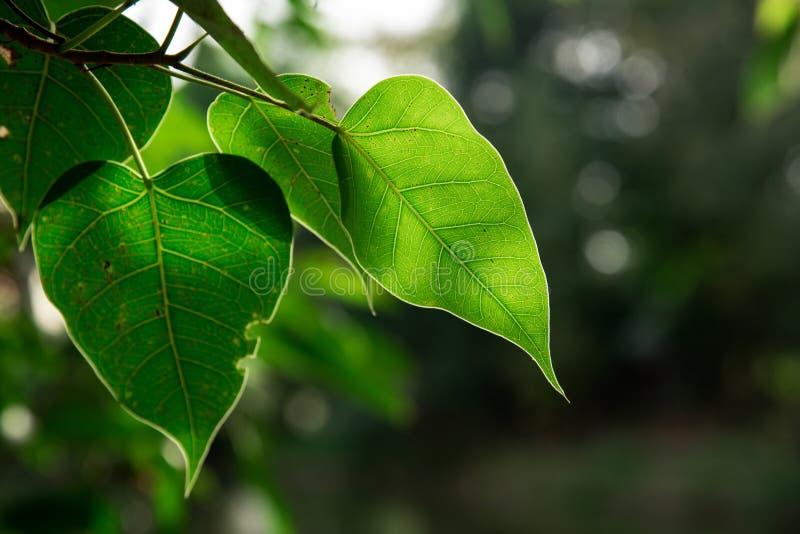 Лист Bodhi зеленого цвета природы крупного плана на дереве стоковые изображения