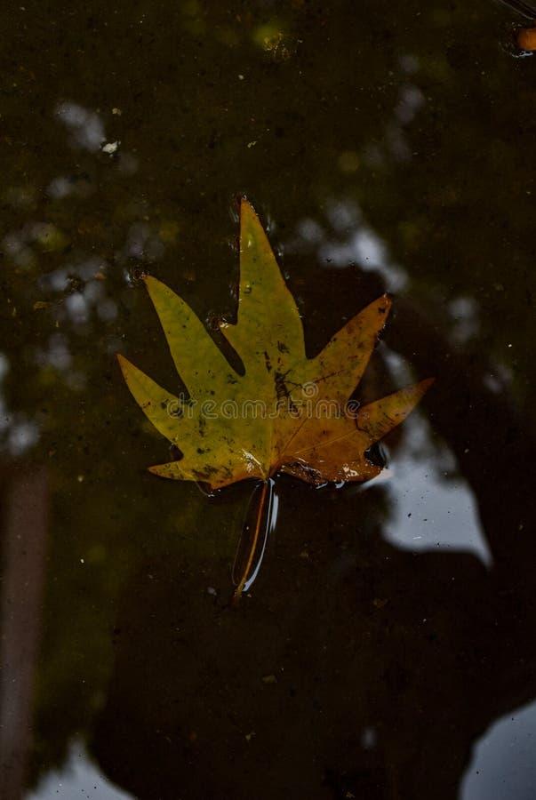 Лист Chrisp упаденные в воду от дерева на Banihal, Джамму и Кашмир, Индии стоковая фотография