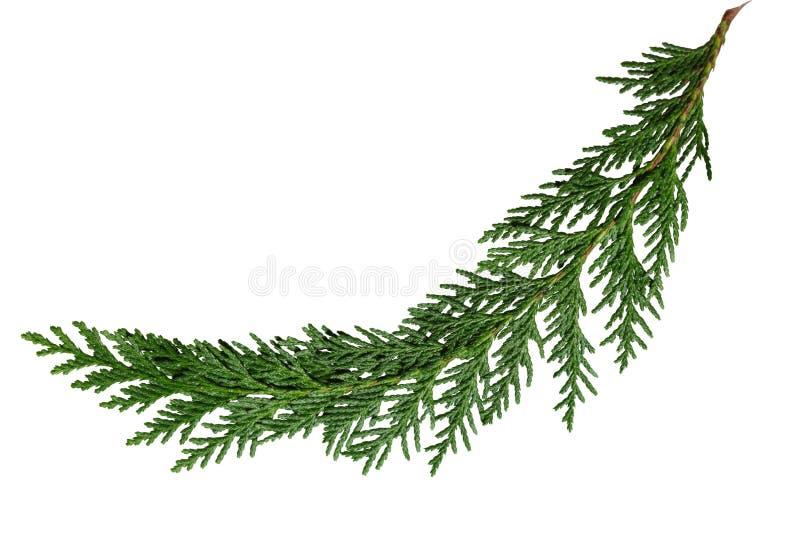 Лист Cypress кедра стоковое изображение rf