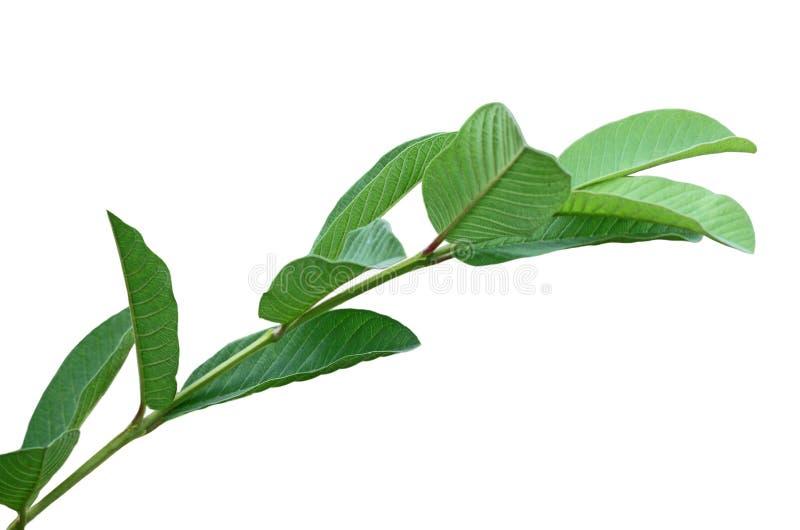 Лист guajava Psidium стоковые фото