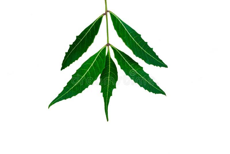 Лист Neem или лист Azadirachta indica изолированные с белой предпосылкой стоковые фотографии rf
