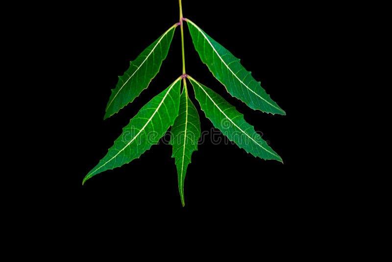Лист Neem или лист Azadirachta indica изолированные с черной предпосылкой стоковое фото rf