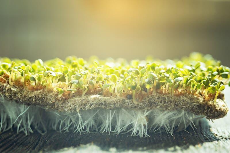 E лист rucola или arugula овощи ростка прорастанные от высококачественного органического семени завода стоковая фотография