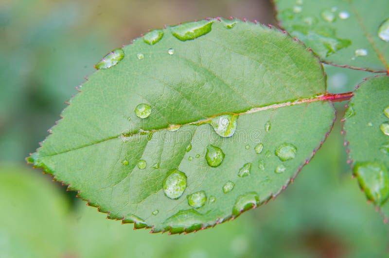 Лист rugosa Роза стоковое фото rf