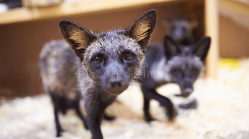 Лисы щенка серебряные в petting зоопарке стоковое изображение rf