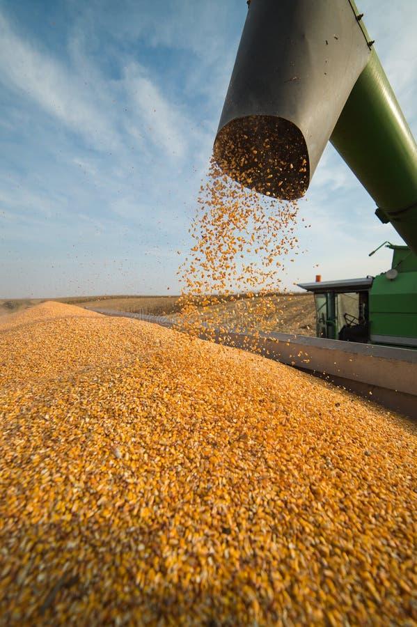 Лить зерно мозоли в прицеп для трактора стоковые фото