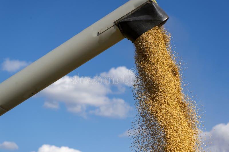 Лить зерно фасоли сои в прицеп для трактора после сбора стоковые фотографии rf