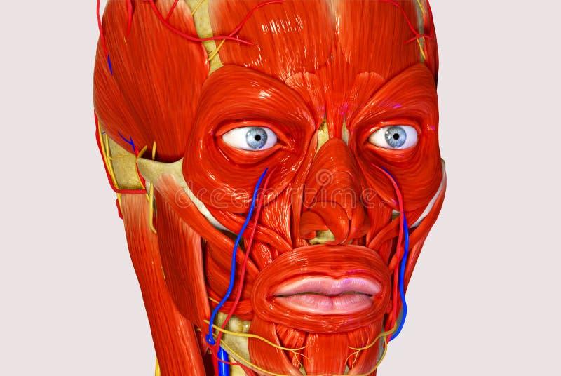 Лицевые мышцы иллюстрация вектора
