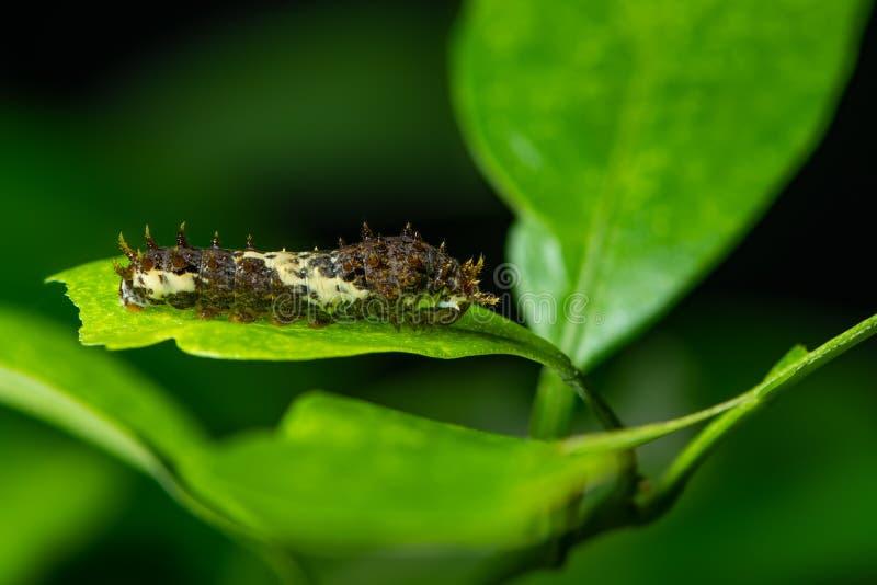 Личинка бабочки Swallowtail известки на лист известки стоковая фотография rf