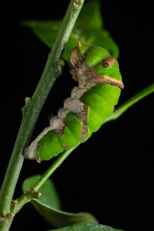 Личинка бабочки Swallowtail известки преобразовывает к куколкам стоковое фото rf