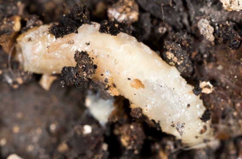 личинка белизны в природе Макрос стоковые изображения