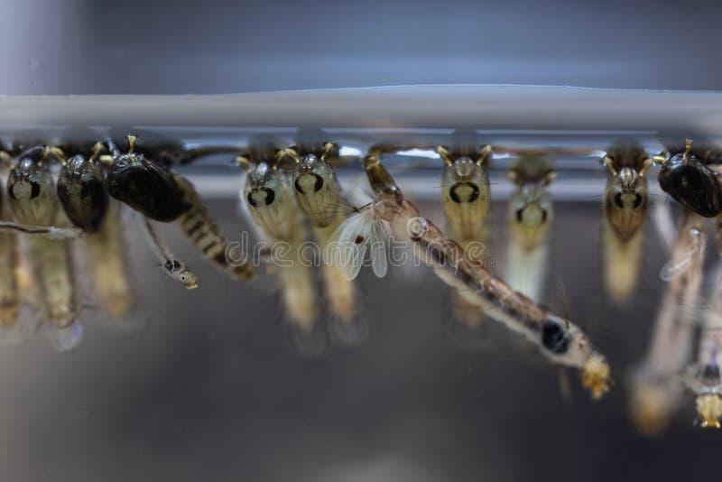 Личинка в двукрылые заказа, sp москита анофелесов Личинка москита в воде стоковое изображение