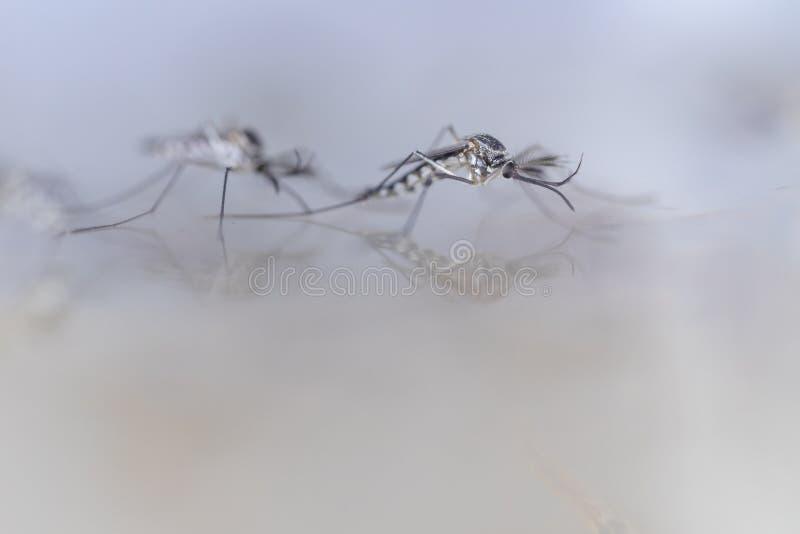 Личинка в двукрылые заказа, sp москита анофелесов Личинка москита в воде стоковое изображение rf