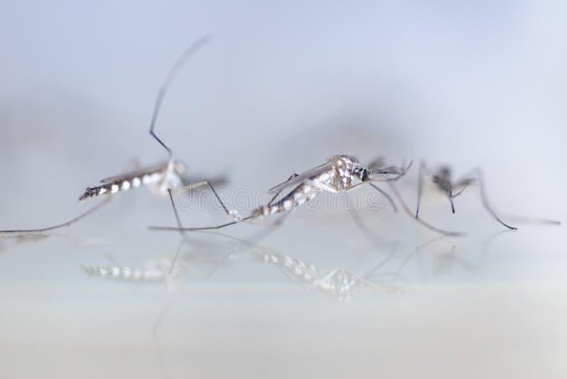Личинка в двукрылые заказа, sp москита анофелесов Личинка москита в воде стоковые фотографии rf