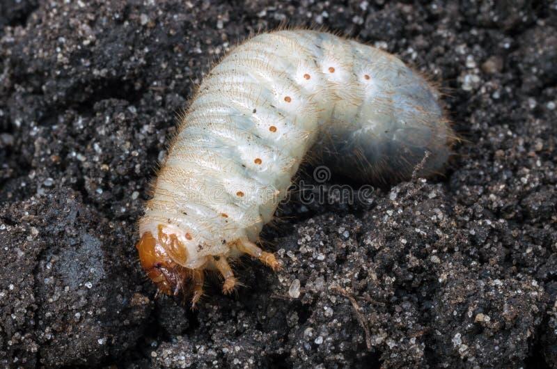 Личинка жука в мае стоковые изображения rf