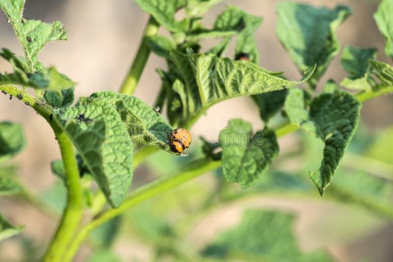 Личинка жука картошки Колорадо ест листья картошки стоковое фото rf