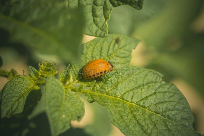 Личинка жука Колорадо на лист картошки стоковая фотография