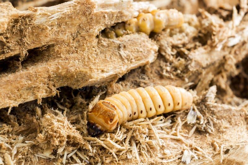 Личинка жука носорога кокоса или носорога Oryctes dang стоковые изображения rf