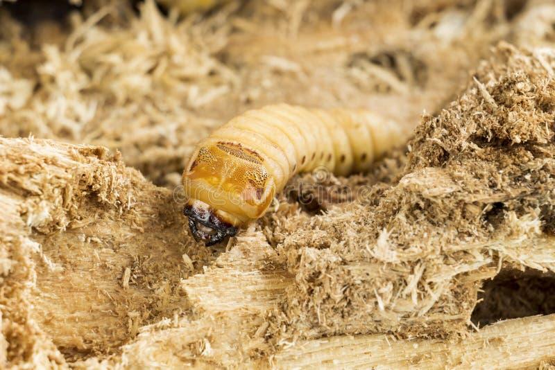 Личинка жука носорога кокоса или носорога Oryctes dang стоковое изображение