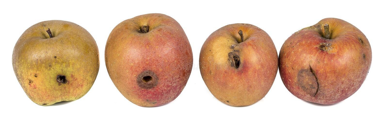 Личинка личинки Яблока 4 червей есть поврежденное Яблоко на белой предпосылке стоковое изображение