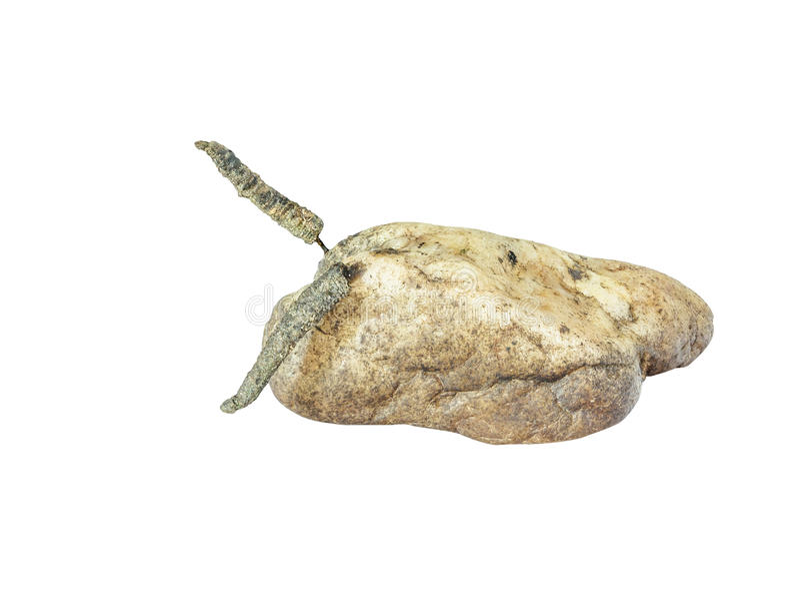 Личинка мухы Caddis растя на камне изолированном на белизне стоковые фото