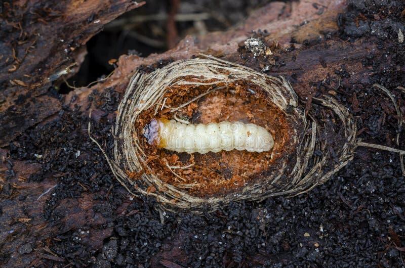 Личинка ребристого inquisitor Rhagium сверла сосны r стоковые изображения rf