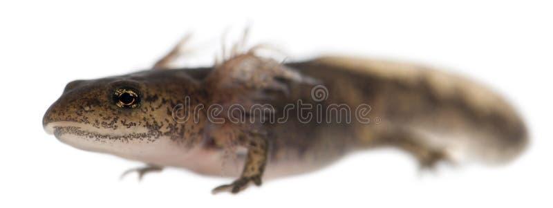 Личинка саламандры огня показывая внешние жабры, salamandra Salamandra стоковые изображения