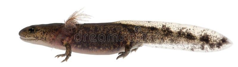 Личинка саламандры огня показывая внешние жабры, salamandra Salamandra стоковые фото