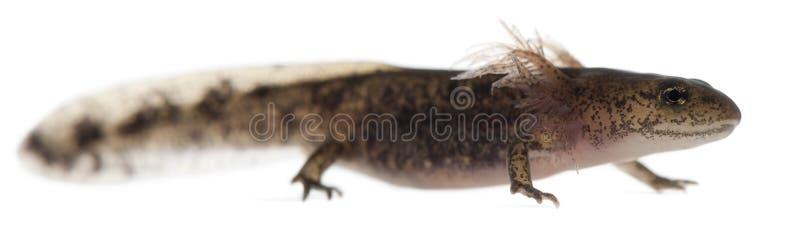 Личинка саламандры огня показывая внешние жабры, salamandra Salamandra стоковое фото rf