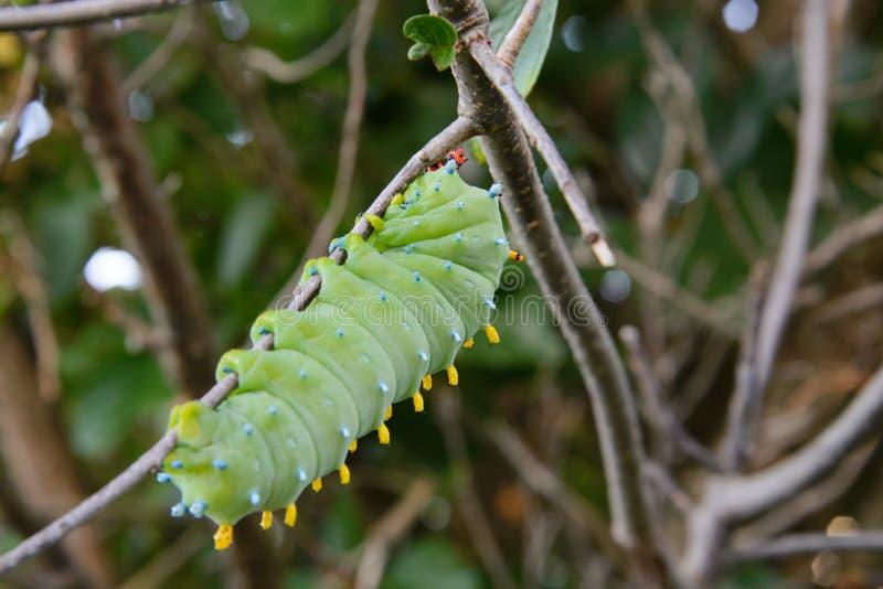 Личинка сумеречницы Cecropia стоковые фотографии rf