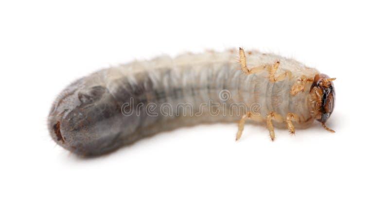 Личинка хрущака мучного, molitor Tenebrio, против белой предпосылки стоковая фотография rf