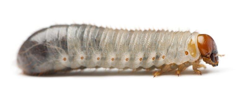 Личинка хрущака мучного, molitor Tenebrio, против белой предпосылки стоковое изображение