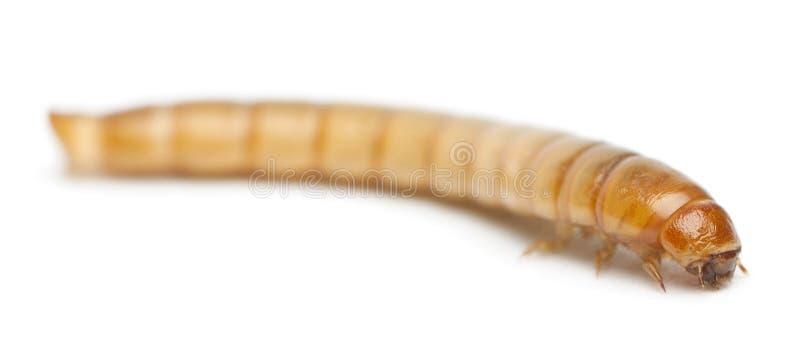 Личинка хрущака мучного, molitor Tenebrio стоковая фотография