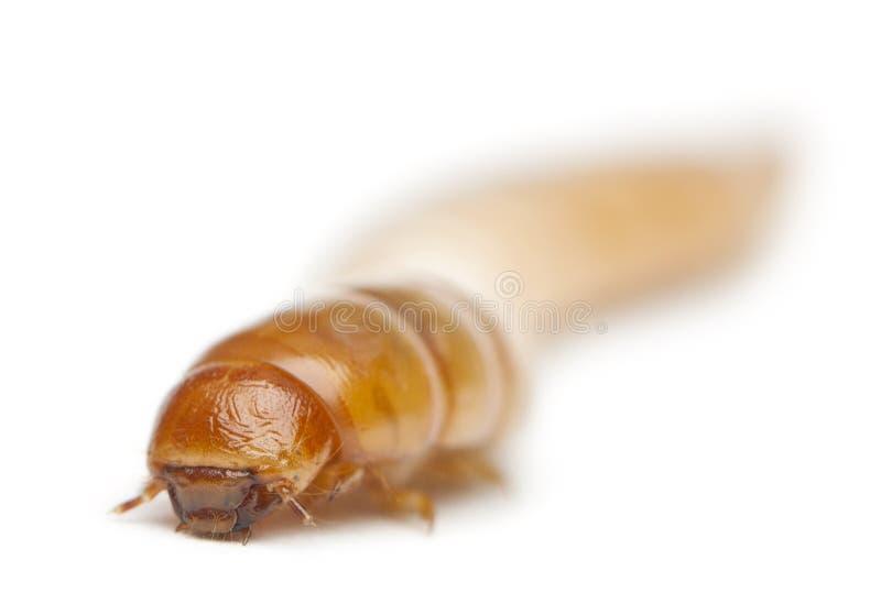 Личинка хрущака мучного, molitor Tenebrio стоковое фото