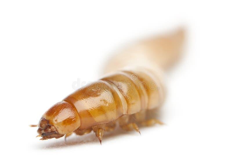 Личинка хрущака мучного, molitor Tenebrio стоковое изображение rf