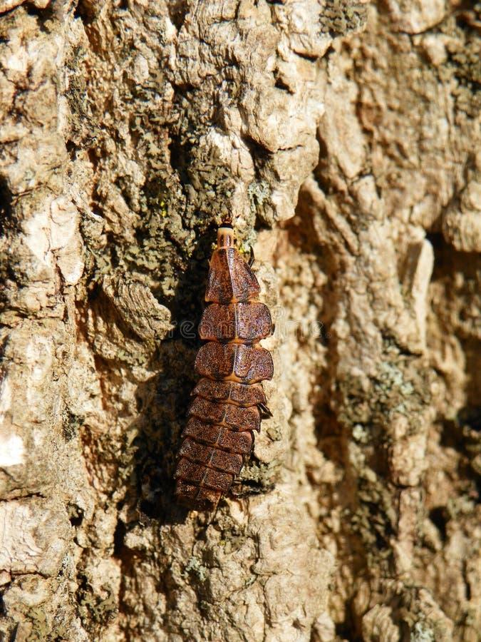 Личинка червя зарева вползая вверх по коре дерева стоковые фото