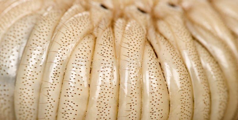 личинка hercules жука близкая вверх стоковая фотография