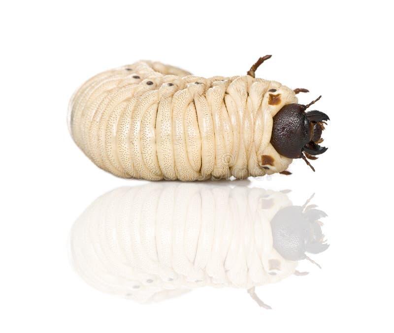 личинка hercules dynastes жука стоковые фото