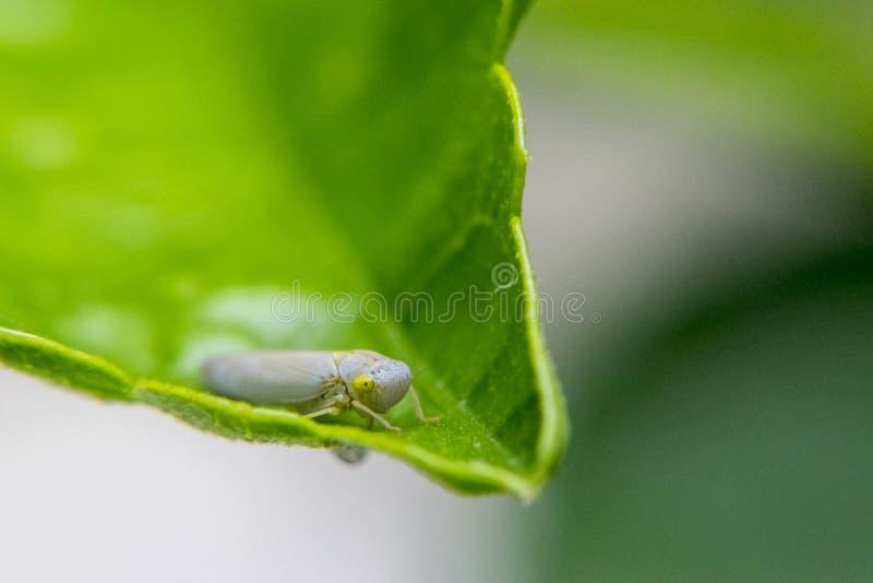 Личинка Lygaeidae на лист стоковая фотография rf