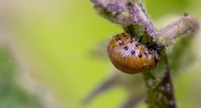 Личинка ` s жука Колорадо подавая на лист картошки стоковые фото