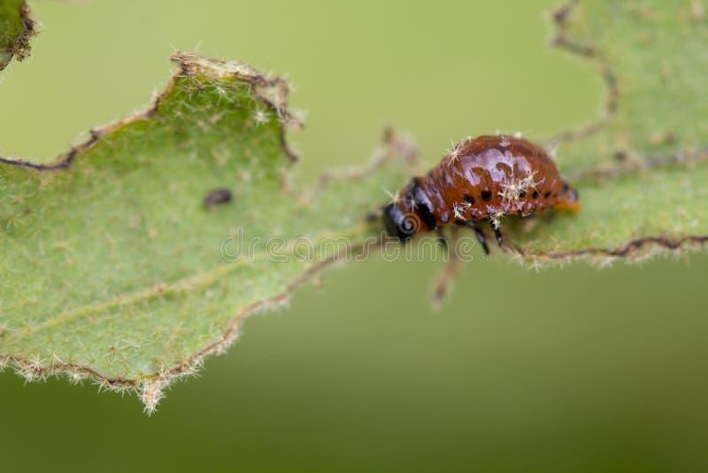 Личинка ` s жука Колорадо подавая на лист картошки стоковое изображение rf