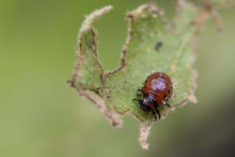 Личинка ` s жука Колорадо подавая на лист картошки стоковое фото rf