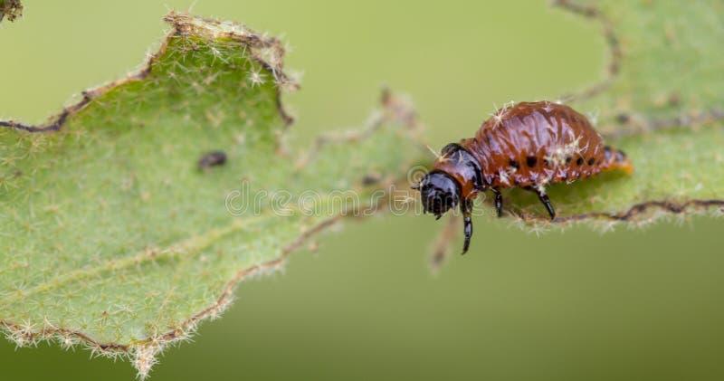 Личинка ` s жука Колорадо подавая на лист картошки стоковые фотографии rf