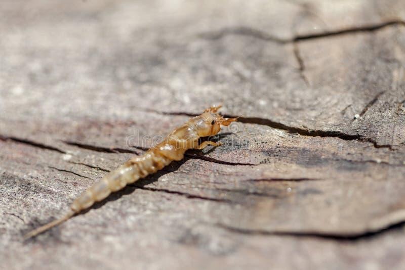 Личинки danica Ephemera стоковые изображения rf