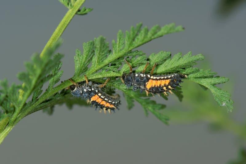 личинки ladybug стоковая фотография rf