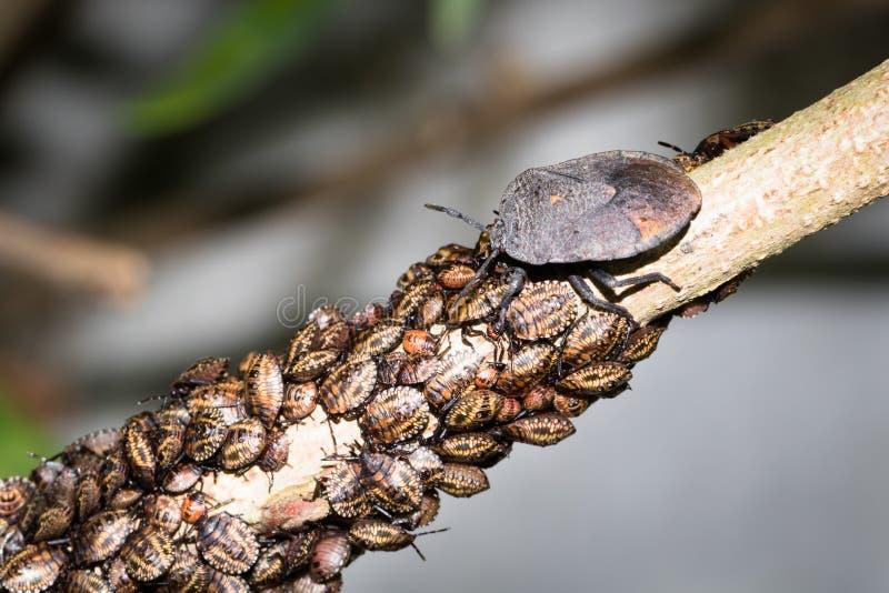 Личинки Stinkbug стоковые изображения rf