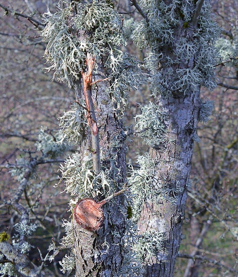Лишайник на серебряной березе, Crieff, Perthshire, Шотландии стоковое изображение