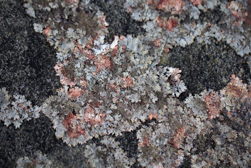 Лишайник на старой каменной текстуре предпосылки стоковые фото