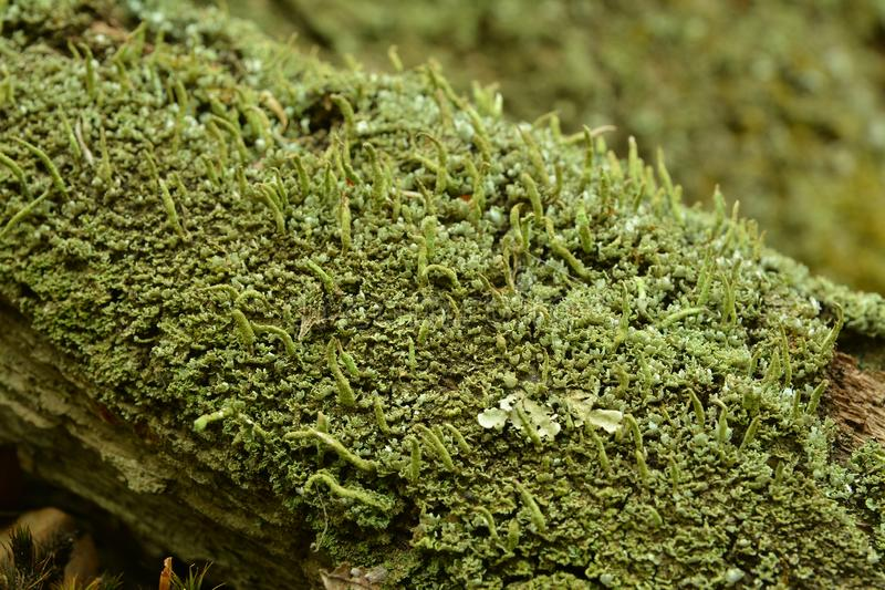 Лишайник coniocraea Cladonia стоковые изображения rf